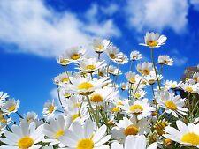 15000 Semillas biológicas de Manzanilla Planta Flor Hierbas Aromática