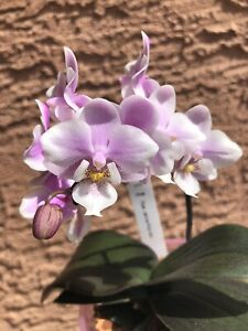Mini/miniature Phal Phalaenopsis Orchid Jiaho's Pink Girl In Spike. FRAGRANT.