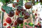 Black Prince Tomato Seeds, NON GMO, Siberian Native, Low Acidic, FREE SHIP