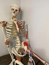3b Scientific Anatomical Skeleton Life Size Realistic Medical Model
