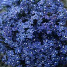 Nemesia strumosa 'Blue Gem' / Great for baskets / 500 seeds