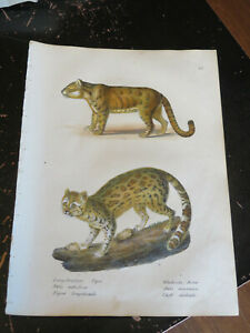 Tigre - Brodtmann, Zurich 1824 Hand colored lithograph # 88