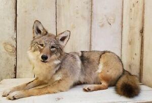 Beautiful High-Quality Coyote Taxidermy Mount (fox skunk lynx bobcat animal art)