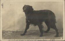Beautiful Irish Setter Dog MARQUISE c1905 French Real Photo Postcard