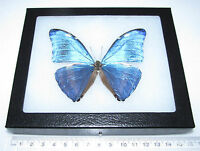 REAL BLUE PERUVIAN MORPHO ADONIS FRAMED BUTTERFLY INSECT
