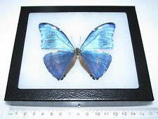 REAL BLUE PERUVIAN MORPHO MARCUS ADONIS FRAMED BUTTERFLY INSECT