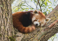 A1| Red Panda Poster Print Size 60 x 90cm Wild Animal Poster Gift #14217