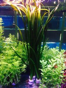 3+ vallisneria Spiralis XL - Straight vallis live aquarium plant - 1 Bunch