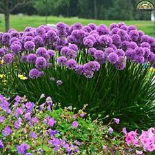 ALLIUM MILLENIUM - ORNAMENTAL ONION - STARTER  PLANT - DORMANT
