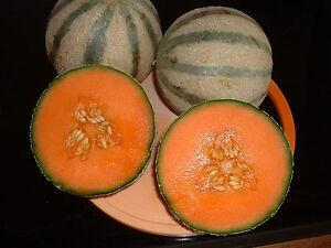 10   Melonensamen Carantais  Samen Saatgut Melonen Samen