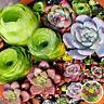 400pcs Mixed Home Plant Succulent Succulents Living Stones Plants Cactus Seeds