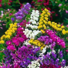 50 Seeds Statice Limonium Sinuatum Bonsai Plant House Herb Garden Flower Decor