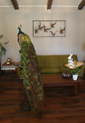 """Peacock full male mount + antique wood stand taxidermy 68"""" tall Indian Peafowl"""