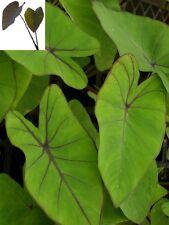 "Colocasia plant ""Blue Hawaiian"" elephant ear NEW"