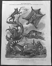 1811 John Wilkes Antique Print of Mammals - Tarsiers, Lemurs, Maucauco, Loris