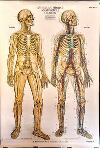 Antique Anatomical illustrations