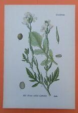 Garten-Senfrauke (Eruca sativa) Salat Heilpflanze  THOME Lithographie 1890