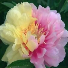 """PEONY PLANT ROOT """"LIME"""" HYBRID (NOT SEEDS) WITH 2-3 EYES!"""