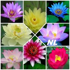 10Pcs Lotus Flowers Seeds 5 Variety Aquatic Exotic Bonsai Plants Design Garden