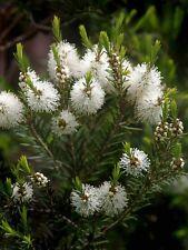 Huile essentielle de Tea Tree - Arbre à thé pure et naturelle