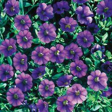 50 Calibrachoa Million Bells Trailing Blue Live Plants Plugs Diy Planters D10002
