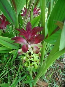 2x Large Hidden Ginger Rhizomes, Curcuma Petiolata, Free Shipping w Free Offer!