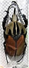 Very Rare Flower Beetle Mecynorhina oberthuri unicolor Male 60mm FAST FROM USA
