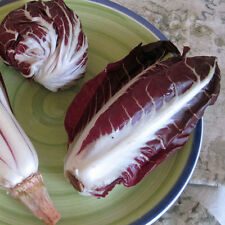CHICORY Radicchio Treviso Red Heirloom Seeds (V 262)