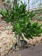 CRASSULA ARGENTEA MONSTROSE -(well established 25CM-30CM SPECIMEN PICTURED)