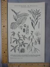 Rare Antique Orig VTG Legume Plant Acacia Mimosa Chart Illustration Art Print