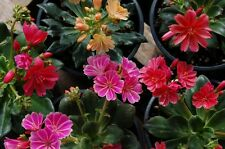 Fairy Flower Seeds Lewisia Sunset Strain x 20 seeds  Rockery plant