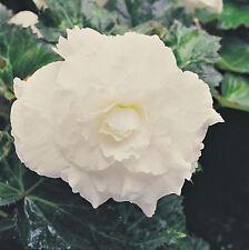 Blumen Supercascade F1 Gemischte Groß 50 Pelletiert Samen Begonien