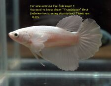 New listing LIVE Betta fish  White Dumbo Hm female 985 .Charmingbetta From Thailand.