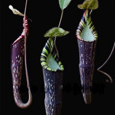 Seed Grown Nepenthes Speckle Carnivorous Plants Potted Grass Bonsai