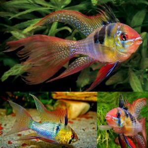 Pair M/F Long Fin German Blue Ram (Dwarf Cichlid) 3.5-4.5 cm rare fish