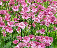 ASTRANTIA MASTERWORT PURPLE Astrantia Major - 100 Bulk Seeds