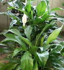 Peace lily (White Flower) Live houseplant
