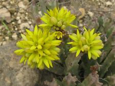1 Plant Caralluma Flava Super Yellow Flower No Stapelia Huernia
