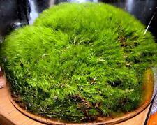 Freshly Harvested Cushion Mood Moss Vivarium Terrarium Garden Plants 1 qt bag