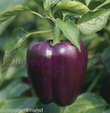 PURPLE BEAUTY PEPPER High yield! Organic Sweet Bell  HEIRLOOM 50+ seeds NON-GMO