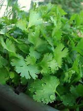 Cilantro Seeds- Chinese Parsley- Coriander- Herb- 200+  2015 Seeds