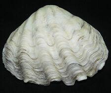 117 mm LARGE NATURAL Crocus Giant Clam Seashell Sea Shell