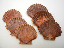 "6 Mexican Flat Scallop Shells Seashells Large 3"" Crafts Coastal Beach Cottage."