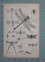 1880 Aufdruck Neuroptera Drache Fly Ant-Lion Snake-Fly May-Fly Caddis Wurm Fly