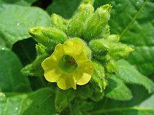 Nicotiana rustica - Mapacho - 500 semillas - seeds - tabaco de Azteca