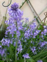 lot 3bulbes de crocus parme + boutures plantes vivaces offertes