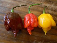 Trinidad Scorpion Mix ***Braun-Rot-Gelb*** 30 Samen -ULTRA SCHARF- Chilisamen