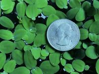 Dwarf Water Lettuce - Tropical Floating Plant - 10+ Plants