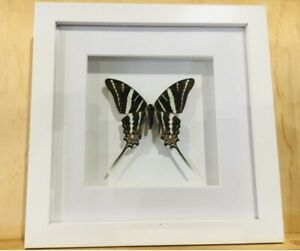 Real Banded Swordtail Butterfly, Graphium Rhesus, Insect Taxidermy