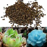 150pcs Blau Sukkulente Samen Lithops Seltene Kaktus Pflanzen Hausgarten Dek D0R9